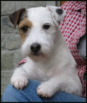 Parson-Russell-Terrier-Ch-Iron-Spring-Scrufulous-Pippin