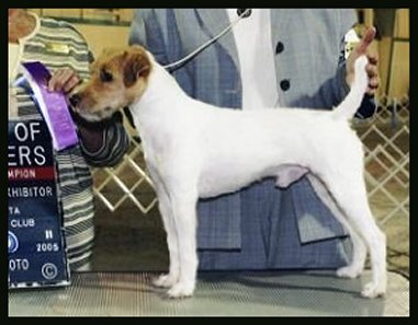 Parson-Russell-Terrier-Ch-Keefer-Farms-Clyde-The-Glide