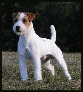 Parson-Russell-Terrier-Ch-Posey-Canyon-Part-and-Parcel