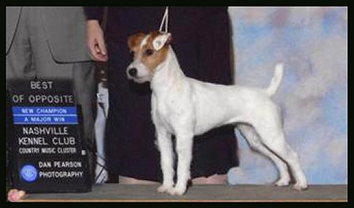 Parson-Russell-Terrier-Ch-Stonemaple-Freedom