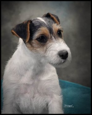 Parson-Russell-Terrier-Ch-Storms-Valentine