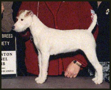 Parson-Russell-Terrier-Ch-White-River-Stormy-Breeze