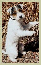 Parson Russell Terrier Contact-1