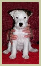 Parson Russell Terrier Contact-3