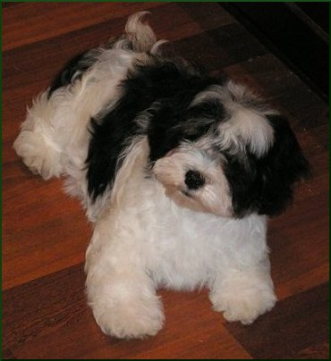 Image Seo All 2 Havanese Post 5