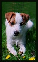 Posey Canyon Parson Russell Terrier 2