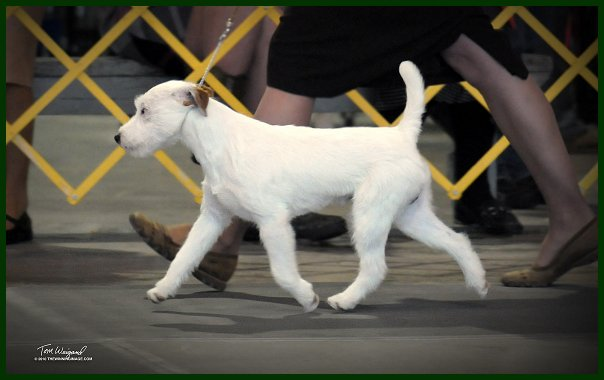 Parson Russell Terrier Growth Parson Russell Terrier...