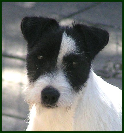 Parson Russell Terrier Java 1