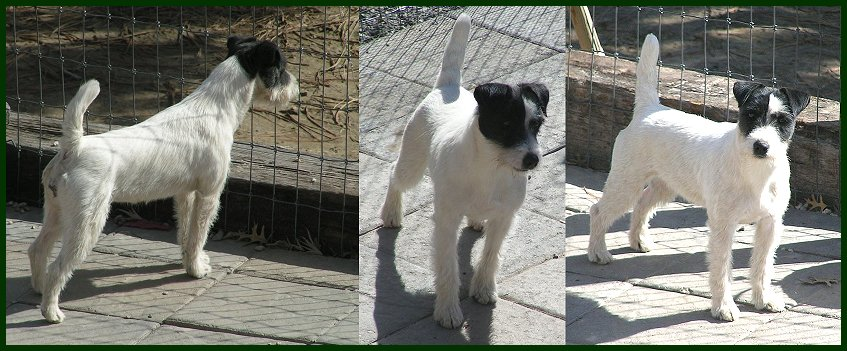 Parson Russell Terrier Java 2