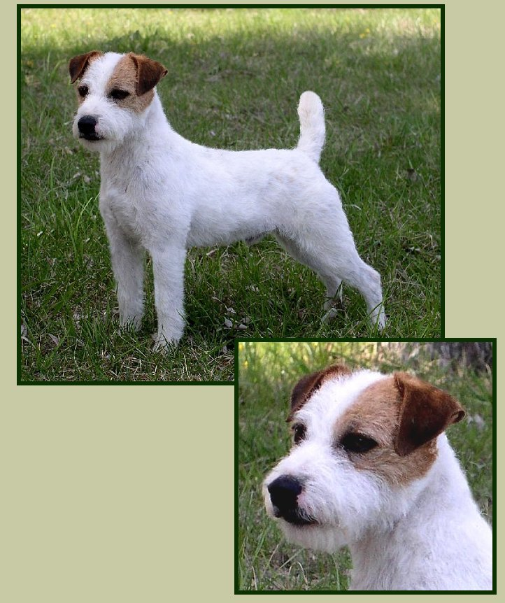 Parson-Russell-Terrier-Storm-2